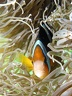Amphiprion chrysopterus Cuvier and Valenciennes, 1830 Family: Pomacentridae